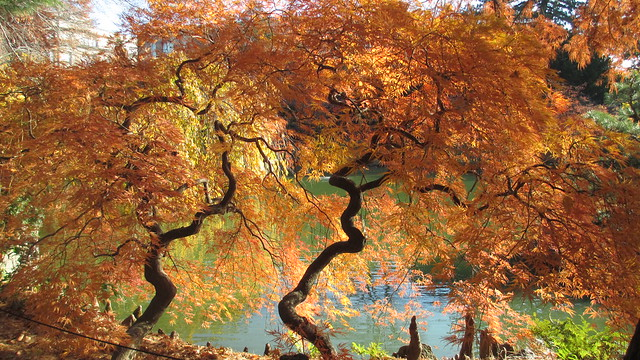 Acer palmatum ' Dissectum' in the Japanese Hill-and-Pond Garden. Photo by Brian Funk.