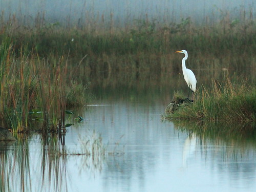 Great Egret as fog lifts 2-20141124