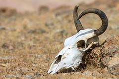 Yak Skull, Ngari, Tibet