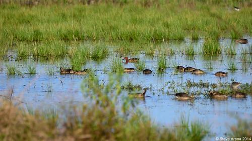 bird duck nikon louisiana teal d750 welsh drake waterfowl anascyanoptera cinammonteal jeffersondavisparish reviewspecies