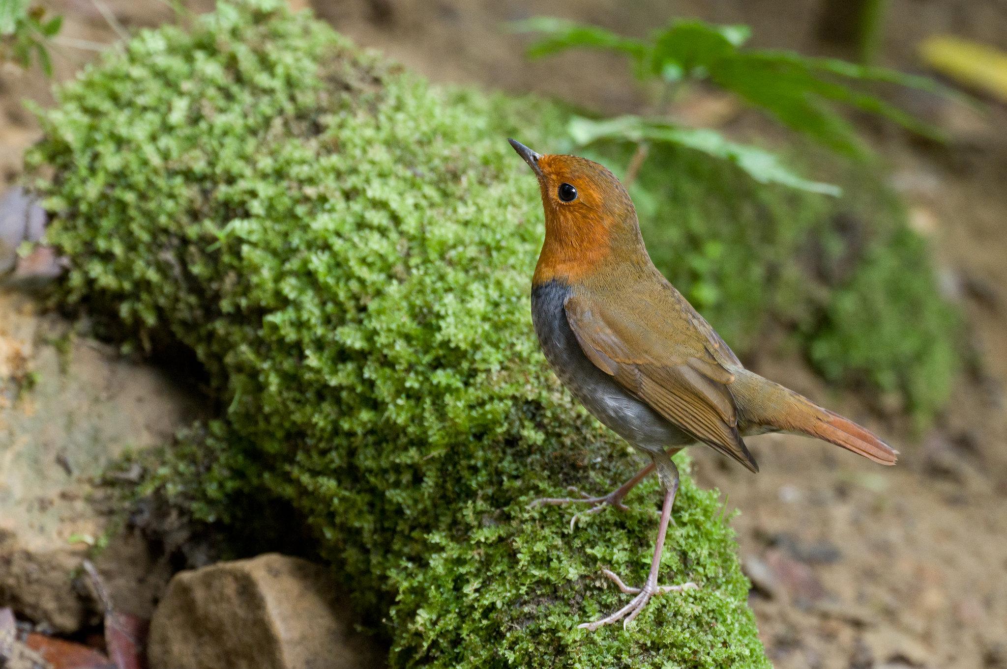 小橘子公鳥