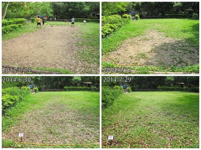 大草坪恢復情形。