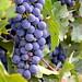 Grapevines of Fattoria Poggio Alloro