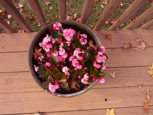 Begonias on the back deck, November 22