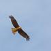 Milano negro / Black kite / Milvus migrans