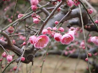 花畑園芸公園の梅⑤