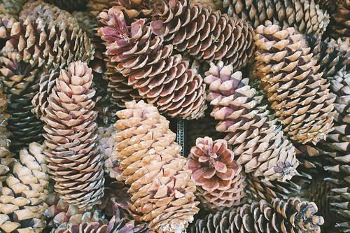 Giant pine cones.