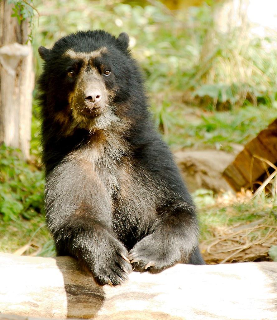 Andean Bear (Tremarctos ornatus)_32