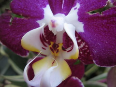 cattleya labiata(0.0), laelia(0.0), cattleya trianae(0.0), flower(1.0), purple(1.0), plant(1.0), macro photography(1.0), phalaenopsis equestris(1.0), flora(1.0), moth orchid(1.0), dendrobium(1.0), petal(1.0),