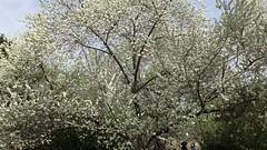 Cherry Blossom Park, Beijing, China