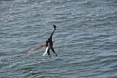 Bald Eagle over Sea