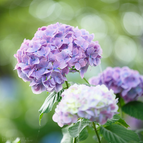 The hydrangeas