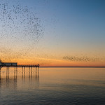 Swimmers and starlings head for Aberystwyth Pier.