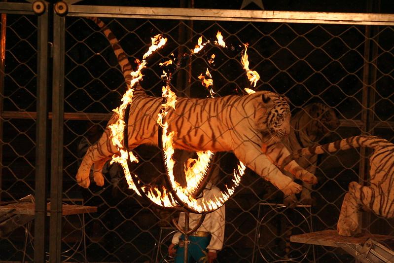 Tiger performance, China