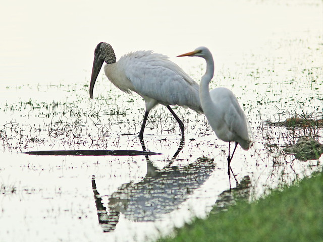 Wood Stork and Great Egret 3-20141229