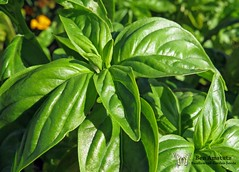 flower(0.0), bird's eye chili(0.0), produce(0.0), fruit(0.0), food(0.0), shrub(1.0), leaf(1.0), plant(1.0), herb(1.0), basil(1.0),