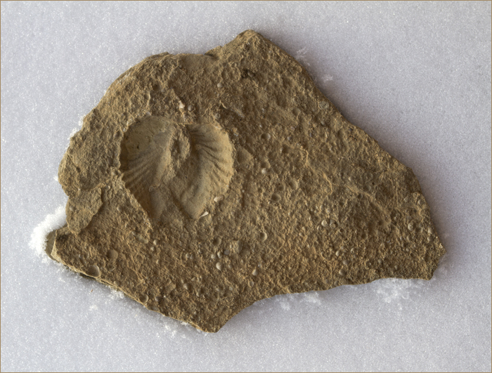 angel wing fossil