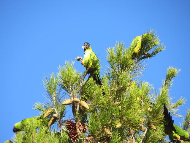 wild parrots in Malibu