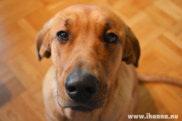 Giza - Broholmer puppy