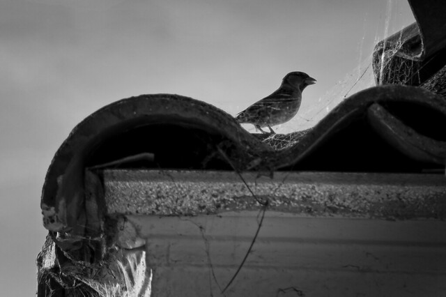 tiled roof and small bird; the sunset, San francisco (2014)
