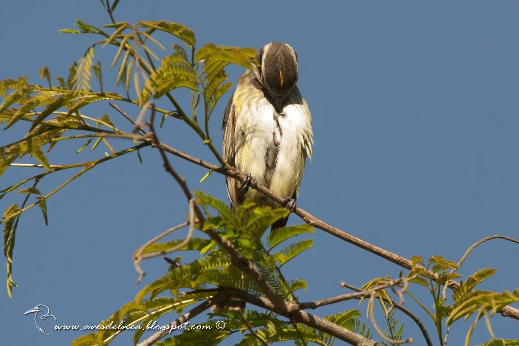 Tuquito chico (Piratic Flycatcher) Legatus leucophaius