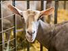 goat grin