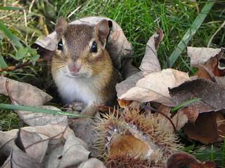 Chipmunk and chestnut