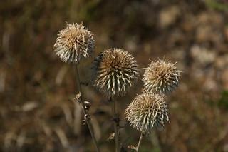 Prickly spheres (AP4H7182 1PP)