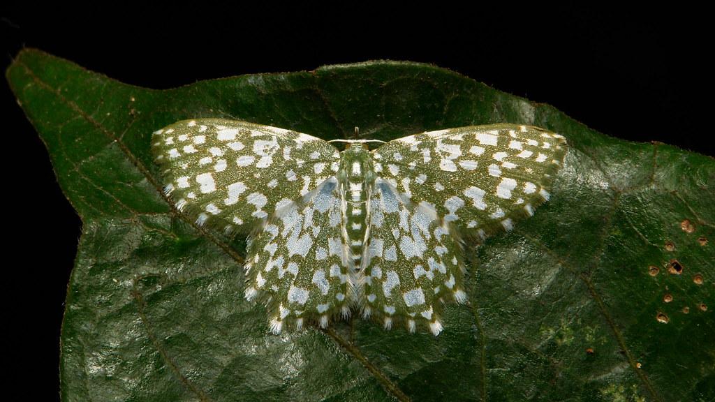 Geometrid Moth (Berta chrysolineata, Geometrinae, Geometridae)