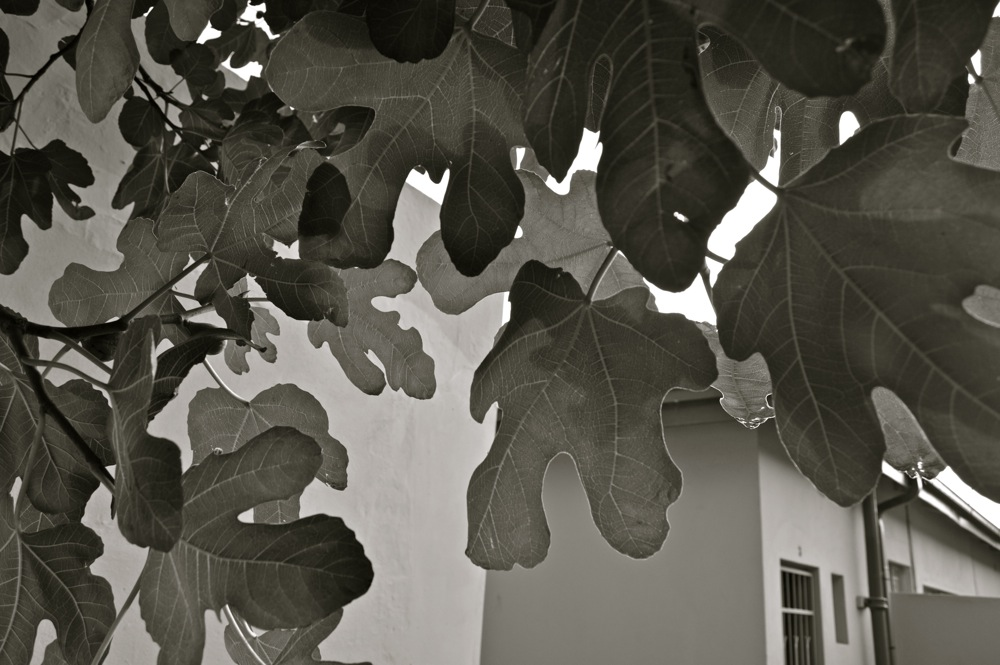 underneath a fig tree