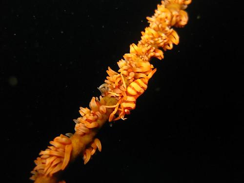 Wire Coral Shrimp, Puerto Galera