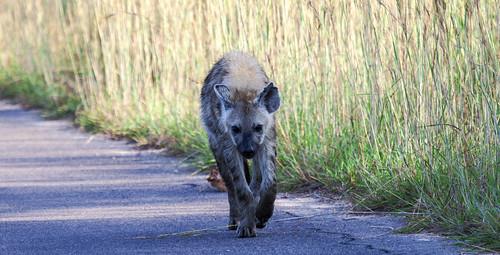 southafrica hyena krugernationalpark mpumalanga krugerpark kruger laughinghyena crocutacrocuta spottedhyena krugersunrise