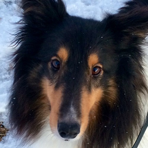 He sees into my soul. #jasper #Sheltie