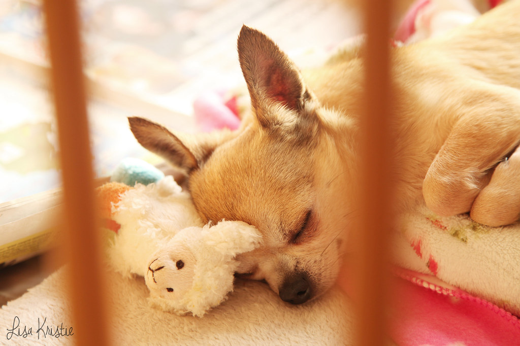 chihuahua sunny morning portrait closeup dog crate fleece blankets stuffed animal toy sleeping sleepy adorable cute tiny small dog breeder short haired smooth coat beige tan brown black white face apple head