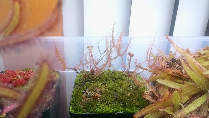 Drosera 'Marston Dragon' from leaf cuttings.