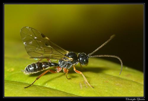 Ichneumonidae (Tryphoninae/Exenterini)