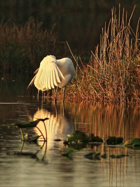 Great Egret preening 2-20150105