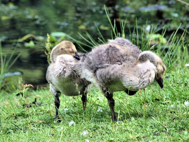 Canada Geese Goslings 068
