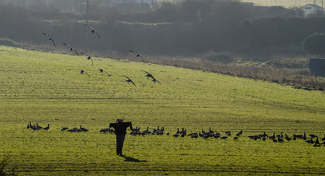 brent geese 432 (99)