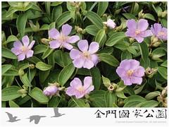 野牡丹-01