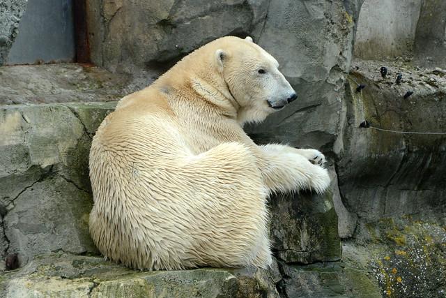 Eisbär Lloyd im Zoo am Meer