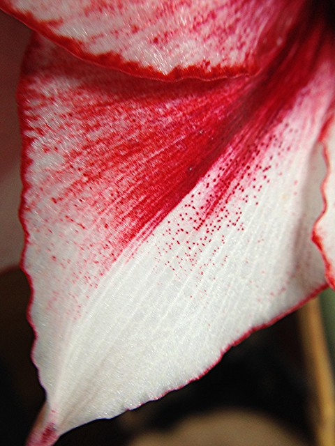 Temptation amaryllis closeup