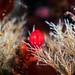 Acanthonotozoma inflatum by Alexander Semenov