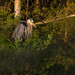 Great Blue Heron in last light by NicoleW0000