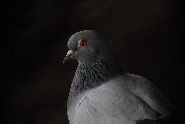 Photogenic Pigeon