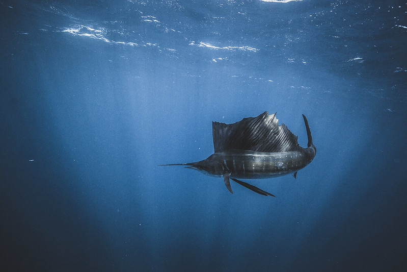 SAILFISH_GOH-3