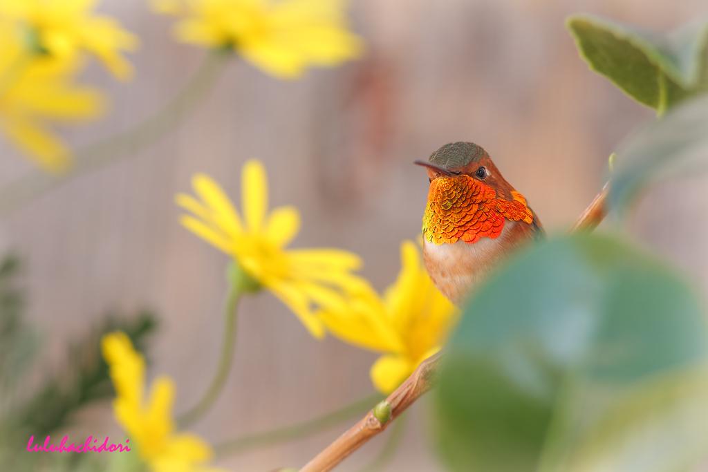 Allen's Hummingbird-111614