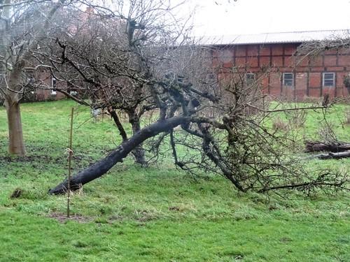 Apfelbaum vom Sturm gefällt