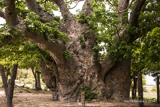 Neduntivu. Baobab.