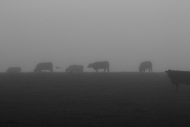 Cows Lost in the Fog
